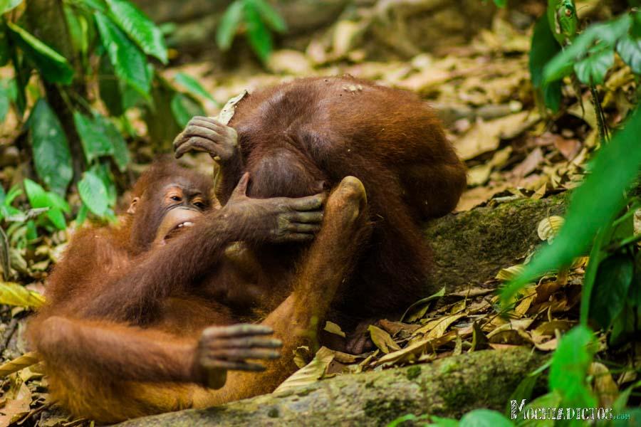 Que ver y que hacer en Borneo, Malasia. www.Mochiadictos (4)