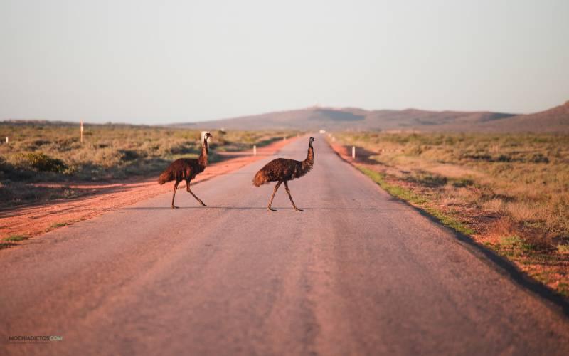 Emus en parque Nacional Cape Range